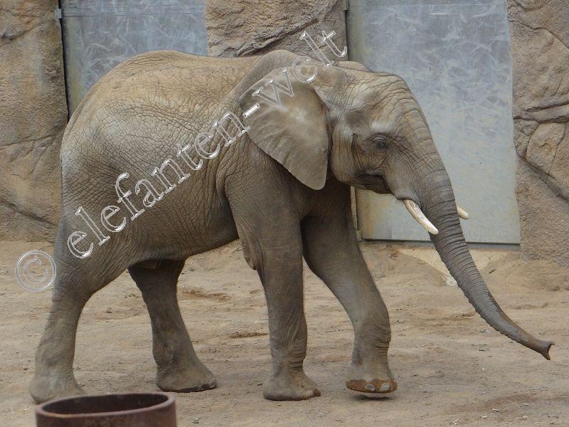 Elefant Monko